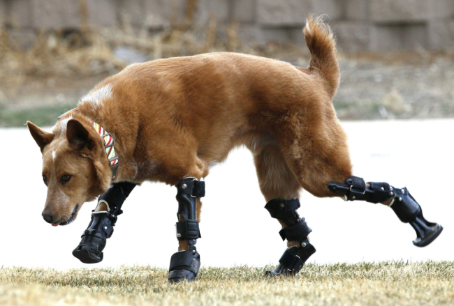 dog with prosthetic legs